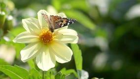Vlinder die een bloem polinating stock video
