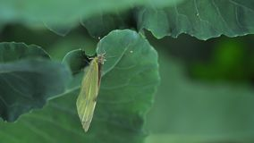 Vlinder die eieren op groen blad leggen