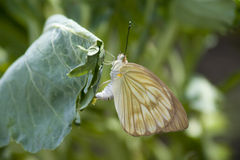 Vlinder die eieren zet Stock Foto