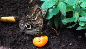 Vlinder die frut eten stock video