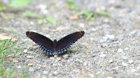 Vlinder die mineraal van grond likken stock footage