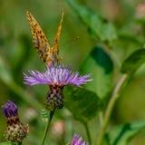 Vlinder die nectar verzamelen Stock Afbeelding