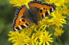 Vlinder die op bloemen & x28 rusten; Nymphalis urticae& x29; Royalty-vrije Stock Foto's
