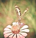 Vlinder die op bloemen vliegen Royalty-vrije Stock Foto