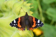 Vlinder die op de rug van een zonnebloem rusten Stock Foto