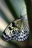 Vlinder die op een Tak rust Stock Foto