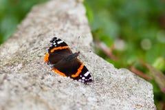 Vlinder die op rots rust Stock Foto