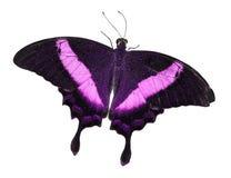 Vlinder die op wit wordt geïsoleerd Royalty-vrije Stock Foto