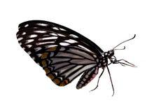 Vlinder die op witte achtergrond wordt geïsoleerd Stock Afbeeldingen