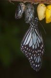 Vlinder die uit Poppen te voorschijn komen Stock Afbeeldingen
