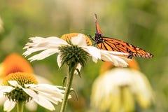 Vlinder die zich in een margriet bevinden royalty-vrije stock fotografie