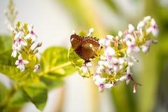 Vlinder die zich op bloemen bevinden Stock Foto