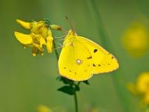 Vlinder die zijn Vleugels in de Zon verwarmen Stock Fotografie