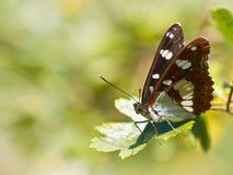 Vlinder die zijn Vleugels in de Zon verwarmen Stock Foto's