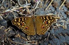 Vlinder die zouten en mineralen van grond likken Stock Afbeelding