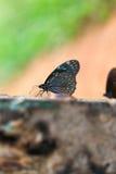 Vlinder Donkerblauwe tijger Stock Foto's