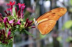Vlinder Dryas Julia op een bloem Stock Afbeeldingen