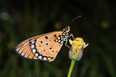 Vlinder in een gele bloem Stock Afbeelding