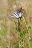Vlinder in een natuurlijk milieu Stock Foto