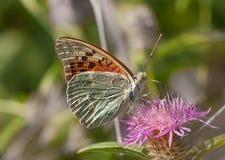 Vlinder in een natuurlijk milieu Stock Foto's