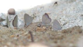 Vlinder en bijen die mineraal van grond drinken stock footage