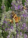 Vlinder en bijen het voeden van lavendel stock afbeelding