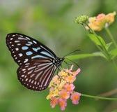 Vlinder en bloeiende bloemen - de Blauwe Bevlekte Milkweed Vlinder van Liuchiou Stock Foto