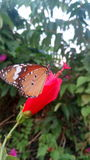 Vlinder en bloem Stock Foto