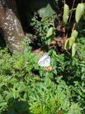 Vlinder en bloem kenikir royalty-vrije stock afbeelding