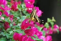 Vlinder en Bougainvillea Stock Afbeelding
