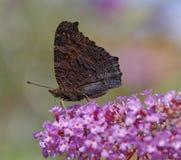 Vlinder en buddleia Royalty-vrije Stock Afbeeldingen