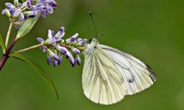 Vlinder en Buddliea Stock Foto's