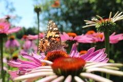 Vlinder en Echinacea Royalty-vrije Stock Foto