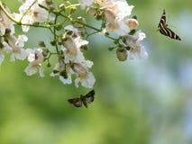 Vlinder en een bloeiende boom stock afbeelding