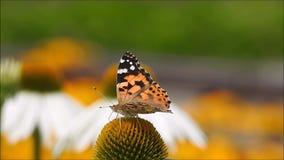 Vlinder en een margriet stock video