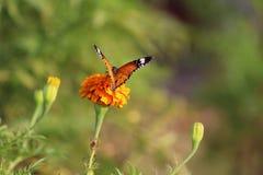 Vlinder en Goudsbloembloem Stock Afbeeldingen