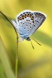Vlinder en gras Stock Afbeelding