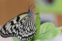 Vlinder en groen blad - Boomnimfen Stock Afbeeldingen