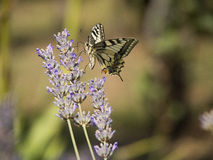 Vlinder en lavendelbloem stock foto's