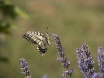 Vlinder en lavendelbloem royalty-vrije stock foto