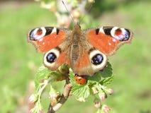 Vlinder en onzelieveheersbeestje Stock Foto