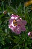 Vlinder en pioen Royalty-vrije Stock Afbeeldingen