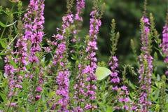 Vlinder en purpere bloemen, Lythrum-salicaria Royalty-vrije Stock Afbeeldingen