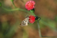 Vlinder en rode bloem Stock Fotografie