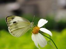 Vlinder en witte bloem stock afbeeldingen