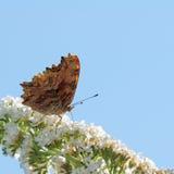 Vlinder en witte Buddleja stock afbeeldingen
