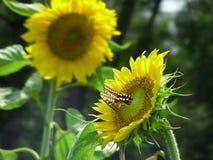 Vlinder en Zonnebloem Stock Foto