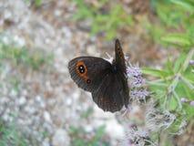 Vlinder ` Erebia aethiops ` Stock Fotografie