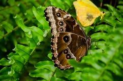 Vlinder eyespots Royalty-vrije Stock Foto's