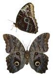 Vlinder geïsoleerde pachlioptaaristolochiae Stock Fotografie